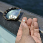 ヤマトヤが仕入れている宇和島の真珠は、過保護に育てられているんです♡